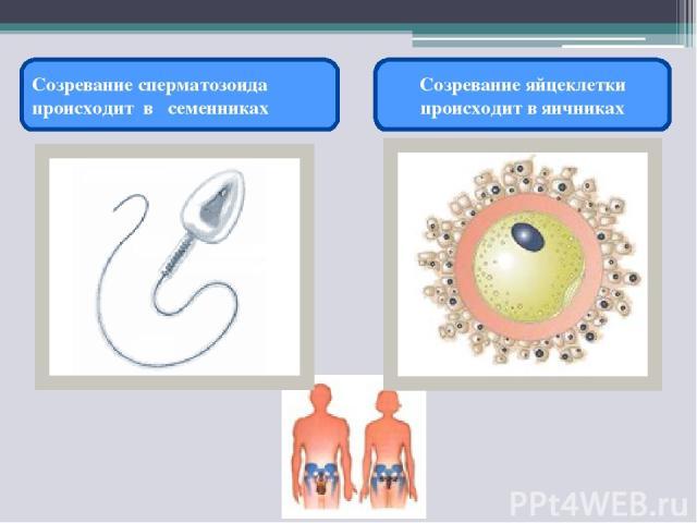 Созревание сперматозоида происходит в семенниках Созревание яйцеклетки происходит в яичниках