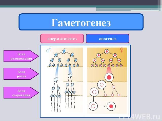 Гаметогенез сперматогенез овогенез Зона размножения Зона роста Зона созревания
