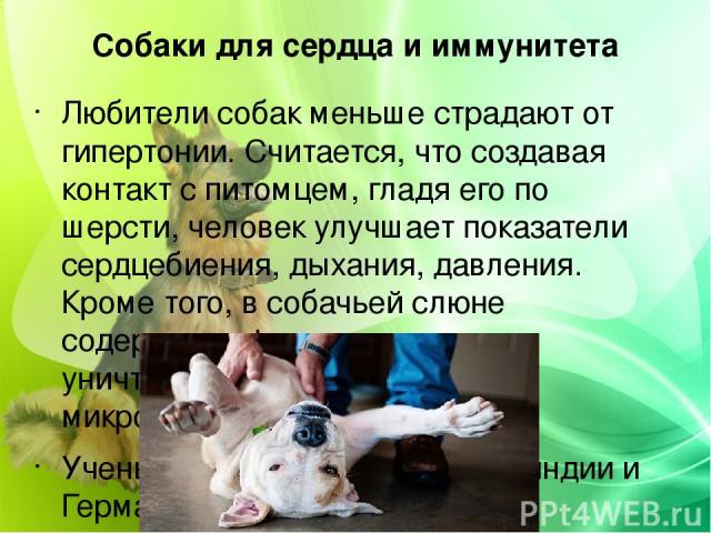 Собаки для сердца и иммунитета Любители собак меньше страдают от гипертонии. Считается, что создавая контакт с питомцем, гладя его по шерсти, человек улучшает показатели сердцебиения, дыхания, давления. Кроме того, в собачьей слюне содержится фермен…