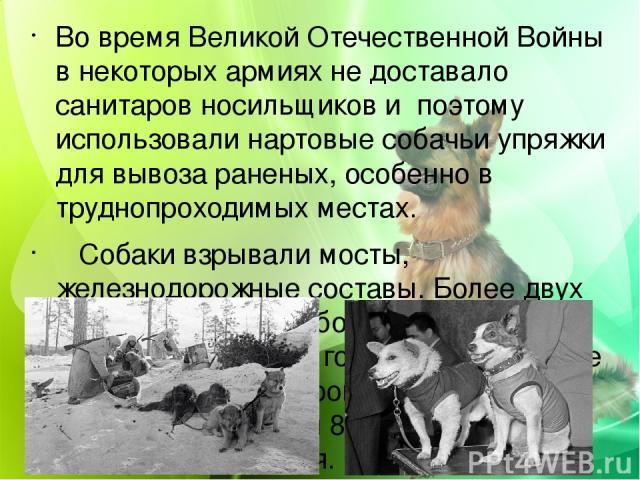 Во время Великой Отечественной Войны в некоторых армиях не доставало санитаров носильщиков и поэтому использовали нартовые собачьи упряжки для вывоза раненых, особенно в труднопроходимых местах. Собаки взрывали мосты, железнодорожные составы. Более …