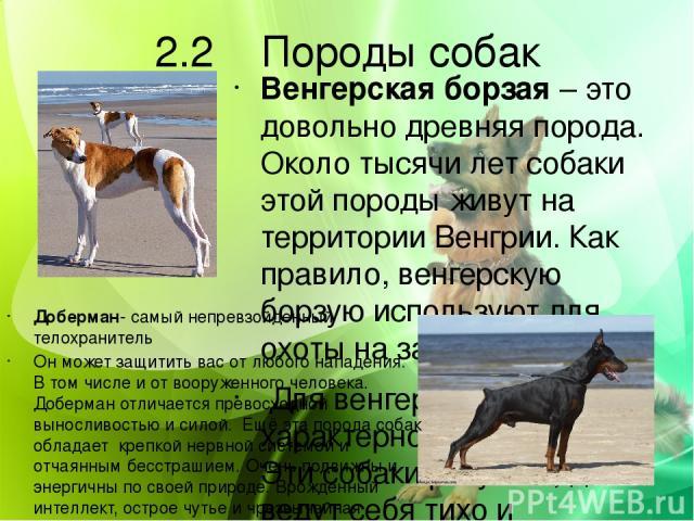 2.2 Породы собак Венгерская борзая – это довольно древняя порода. Около тысячи лет собаки этой породы живут на территории Венгрии. Как правило, венгерскую борзую используют для охоты на зайцев. Для венгерских борзых характерно послушание. Эти собаки…