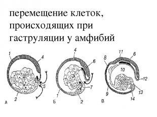 перемещение клеток, происходящих при гаструляции у амфибий