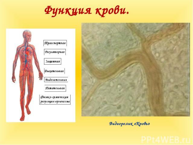 Функция крови. Видеоролик «Кровь»