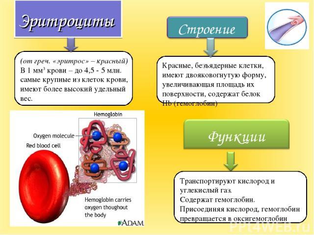 Эритроциты (от греч. «эритрос» – красный) В 1 мм3 крови – до 4,5 - 5 млн. самые крупные из клеток крови, имеют более высокий удельный вес. Транспортируют кислород и углекислый газ. Содержат гемоглобин. Присоединяя кислород, гемоглобин превращается в…