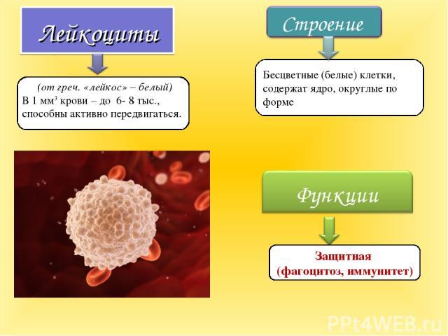 Лейкоциты (от греч. «лейкос» – белый) В 1 мм3 крови – до 6- 8 тыс., способны активно передвигаться. Защитная (фагоцитоз, иммунитет) Бесцветные (белые) клетки, содержат ядро, округлые по форме
