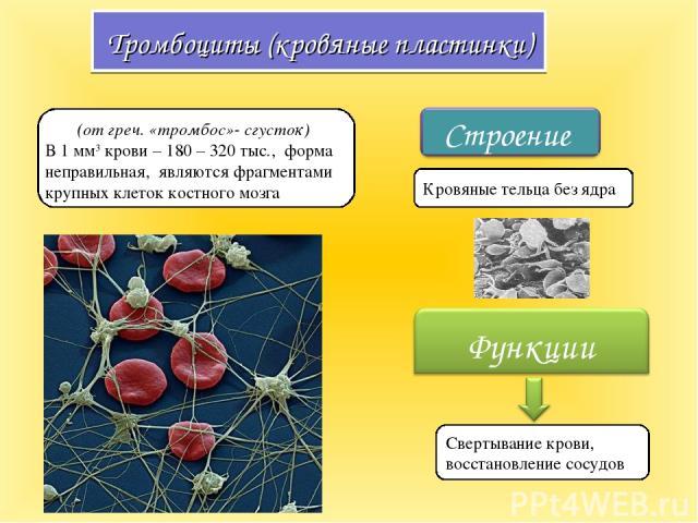 Тромбоциты (кровяные пластинки) (от греч. «тромбос»- сгусток) В 1 мм3 крови – 180 – 320 тыс., форма неправильная, являются фрагментами крупных клеток костного мозга Свертывание крови, восстановление сосудов Кровяные тельца без ядра
