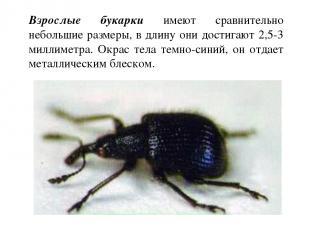 Взрослые букарки имеют сравнительно небольшие размеры, в длину они достигают 2,5