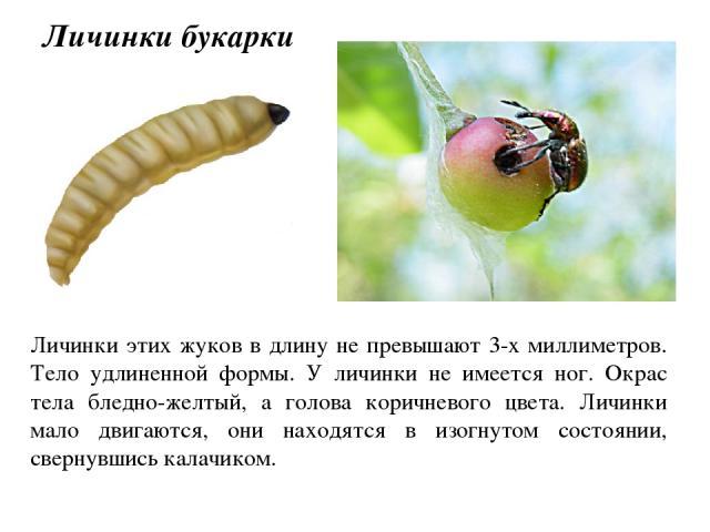 Личинки этих жуков в длину не превышают 3-х миллиметров. Тело удлиненной формы. У личинки не имеется ног. Окрас тела бледно-желтый, а голова коричневого цвета. Личинки мало двигаются, они находятся в изогнутом состоянии, свернувшись калачиком. Личин…