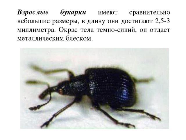 Взрослые букарки имеют сравнительно небольшие размеры, в длину они достигают 2,5-3 миллиметра. Окрас тела темно-синий, он отдает металлическим блеском.