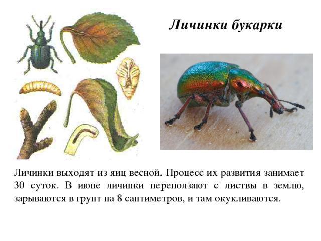 Личинки выходят из яиц весной. Процесс их развития занимает 30 суток. В июне личинки переползают с листвы в землю, зарываются в грунт на 8 сантиметров, и там окукливаются. Личинки букарки