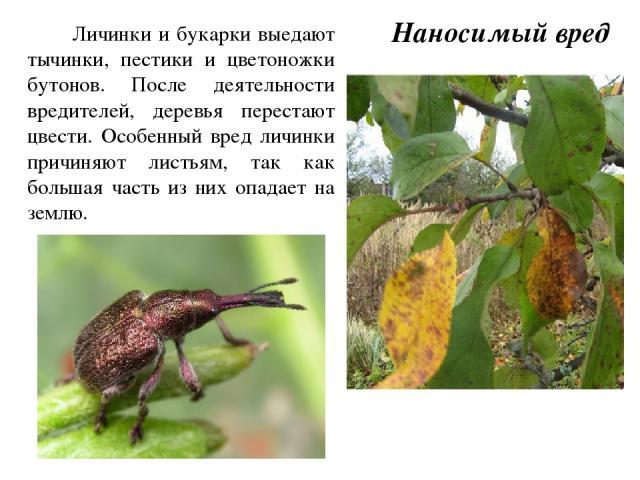 Личинки и букарки выедают тычинки, пестики и цветоножки бутонов. После деятельности вредителей, деревья перестают цвести. Особенный вред личинки причиняют листьям, так как большая часть из них опадает на землю. Наносимый вред