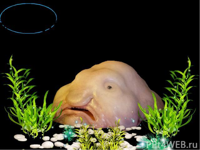 РЫБА - КАПЛЯ Расцветки у данных рыб самые разнообразные и зависят от цвета родного коралла, где они обитают. Удивительно, но рыба-капля способна ходить по дну на плавниках, как наземные четвероногие.