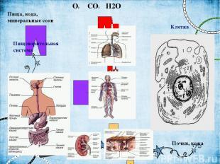 Пища, вода, минеральные соли O2 CO2 H2O Почки, кожа Пищеварительная система Дыха