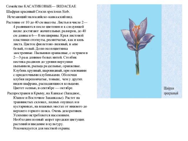 Семейство КАСАТИКОВЫЕ— IRIDACEAE Семейство КАСАТИКОВЫЕ— IRIDACEAE Шафран красивый Crocus speciosus Sieb. Исчезающий малоазийско-кавказский вид. Растение от 10 до 40 см высоты. Листья в числе 2— 4 развиваются после цветения и к следующей весне достиг…