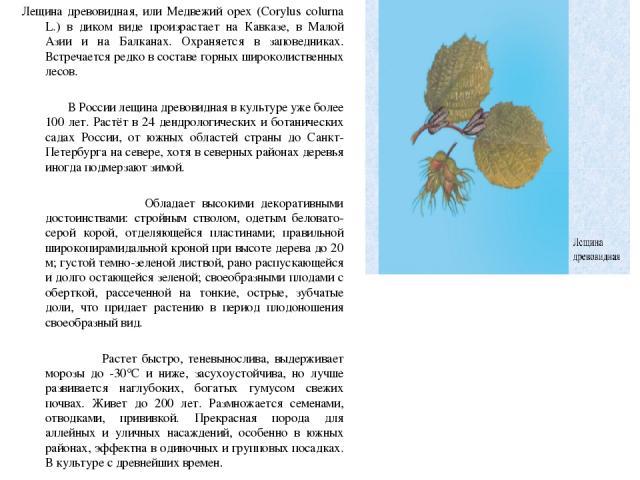 Лещина древовидная, или Медвежий орех (Corylus colurna L.) в диком виде произрастает на Кавказе, в Малой Азии и на Балканах. Охраняется в заповедниках. Встречается редко в составе горных широколиственных лесов. Лещина древовидная, или Медвежий орех …