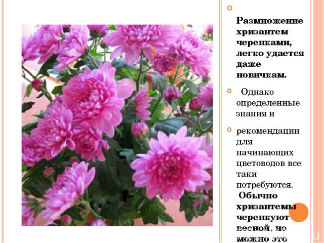 Размножение хризантем черенками, легко удается даже новичкам. Однако определенные знания и рекомендации для начинающих цветоводов все таки потребуются. Обычно хризантемы черенкуют весной, но можно это делать летом и даже осенью.
