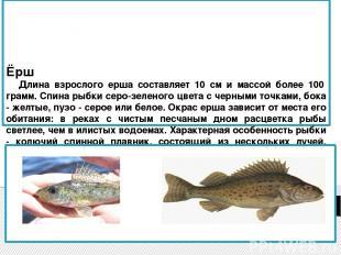 Ёрш Длина взрослого ерша составляет 10 см и массой более 100 грамм. Спина рыбки