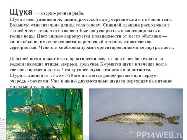 Щука — озерно-речная рыба. Щука имеет удлиненное, цилиндрической или умеренно сжатое с боков тело. Большую относительно длины тела голову. Спинной плавник расположен в задней части тела, что позволяет быстро ускоряться и маневрировать в толще воды. …