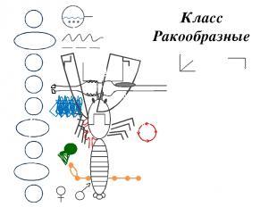 Класс Ракообразные М ОЖ НС В КС Д П С Р 1 - Головогрудь 2 - Брюшко 3 - Хвост 4 -