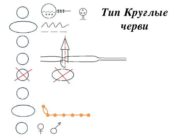 Тип Круглые черви М ОЖ НС В Д П С Р Двусторонняя симметрия Кожно-мышечный мешок Первичная полость тела Жидкость Одноклеточные железы Почки накопления КС