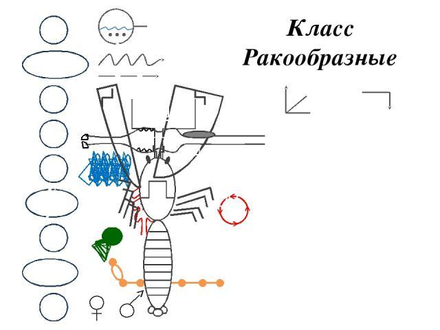 Класс Ракообразные М ОЖ НС В КС Д П С Р 1 - Головогрудь 2 - Брюшко 3 - Хвост 4 - Ходильные ноги 5 - Сложный глаз 6 - Антенна (орган осязания) 7 - Антеннула (орган вкуса и обоняния, в основании – орган равновесия) 1 2 3 4 5 6 7 ХИТИН
