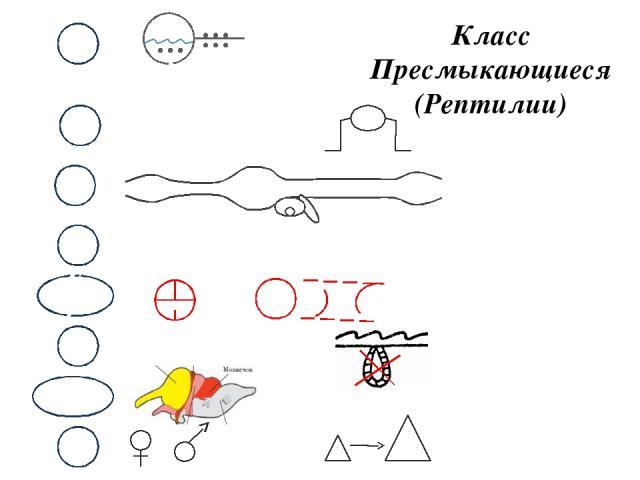 Класс Пресмыкающиеся (Рептилии) М НС В КС Д П С Р Почки. Голова, туловище, хвост, конечности Череп, позвоночник, скелет конечностей Лёгкие.