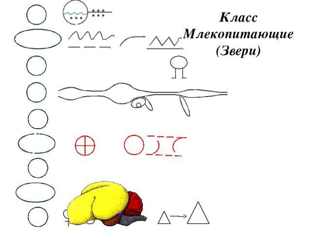 Класс Млекопитающие (Звери) М НС В КС Д П С Р Почки, мочеточники, мочевой пузырь. Железы. Голова, туловище, хвост, конечности Череп, позвоночник, скелет конечностей Лёгкие. ОЖ