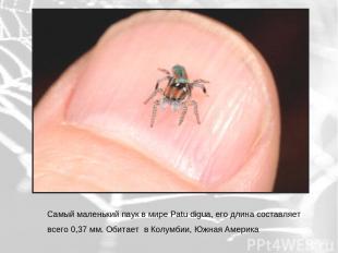 Самый маленький паук в мире Patu digua, его длина составляет всего 0,37 мм. Обит