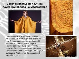 Золотое платье из паутины паука-кругопряда на Мадагаскаре Шелк собирали около 8
