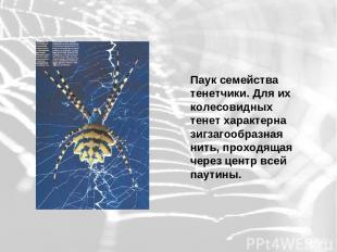 Паук семейства тенетчики. Для их колесовидных тенет характерна зигзагообразная н