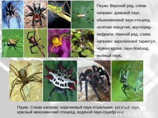 Пауки. Верхний ряд, слева направо: домовой паук, обыкновенный паук-птицеед, зелё