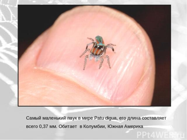 Самый маленький паук в мире Patu digua, его длина составляет всего 0,37 мм. Обитает в Колумбии, Южная Америка