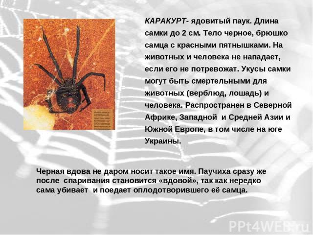 КАРАКУРТ- ядовитый паук. Длина самки до 2 см. Тело черное, брюшко самца с красными пятнышками. На животных и человека не нападает, если его не потревожат. Укусы самки могут быть смертельными для животных (верблюд, лошадь) и человека. Распространен в…