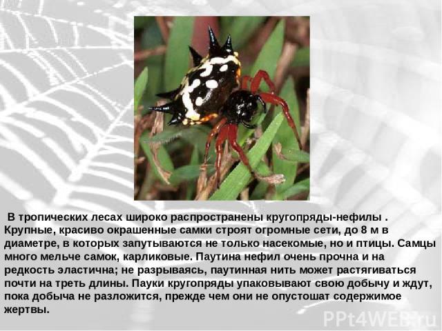 В тропических лесах широко распространены кругопряды-нефилы . Крупные, красиво окрашенные самки строят огромные сети, до 8 м в диаметре, в которых запутываются не только насекомые, но и птицы. Самцы много мельче самок, карликовые. Паутина нефил очен…