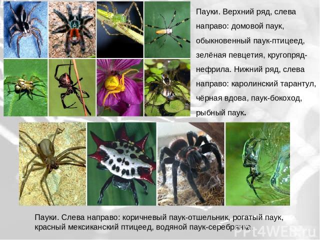Пауки. Верхний ряд, слева направо: домовой паук, обыкновенный паук-птицеед, зелёная певцетия, кругопряд-нефрила. Нижний ряд, слева направо: каролинский тарантул, чёрная вдова, паук-бокоход, рыбный паук. Пауки. Слева направо: коричневый паук-отшельни…