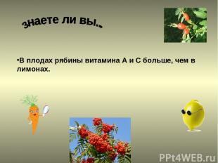 В плодах рябины витамина А и С больше, чем в лимонах.