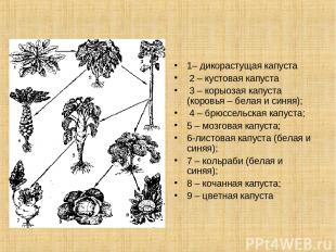1– дикорастущая капуста 2 – кустовая капуста 3 – корыозая капуста (коровья – бел