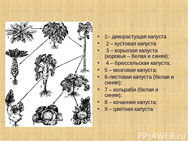1– дикорастущая капуста 2 – кустовая капуста 3 – корыозая капуста (коровья – белая и синяя); 4 – брюссельская капуста; 5 – мозговая капуста; 6-листовая капуста (белая и синяя); 7 – кольраби (белая и синяя); 8 – кочанная капуста; 9 – цветная капуста