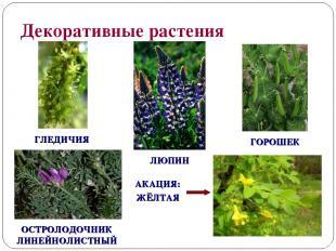 Декоративные растения ГОРОШЕК ЛЮПИН ГЛЕДИЧИЯ ОСТРОЛОДОЧНИК ЛИНЕЙНОЛИСТНЫЙ АКАЦИЯ