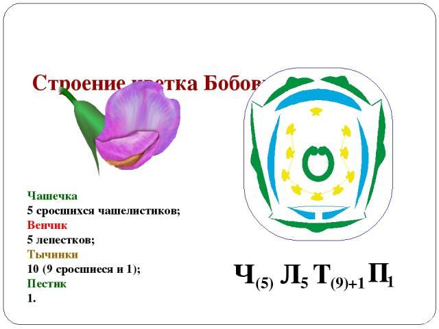 Строение цветка Бобовых Чашечка 5 сросшихся чашелистиков; Венчик 5 лепестков; Тычинки 10 (9 сросшиеся и 1); Пестик 1.