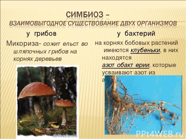 у грибов Микориза- сожительство шляпочных грибов на корнях деревьев у бактерий на корнях бобовых растений имеются клубеньки, в них находятся азотобактерии, которые усваивают азот из атмосферы.