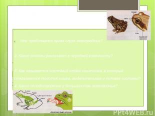 «Знаешь ли ты строение и размножение земноводных?» Чем представлен орган слуха з