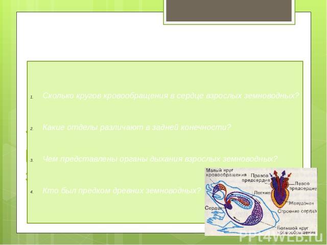 «Знаешь ли ты строение и размножение земноводных?» Сколько кругов кровообращения в сердце взрослых земноводных? Какие отделы различают в задней конечности? Чем представлены органы дыхания взрослых земноводных? Кто был предком древних земноводных?
