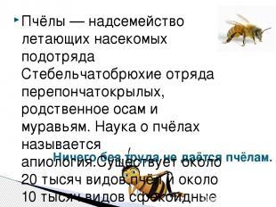 Ничего без труда не даётся пчёлам. Пчёлы — надсемейство летающих насекомых подот