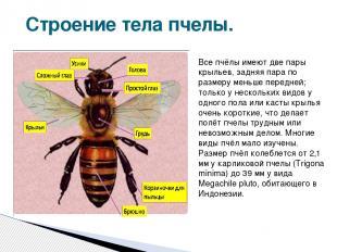 Строение тела пчелы. Все пчёлы имеют две пары крыльев, задняя пара по размеру ме