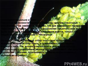 Отношения муравьев и тлей Пастушьи наклонности муравьев известны многим: некотор