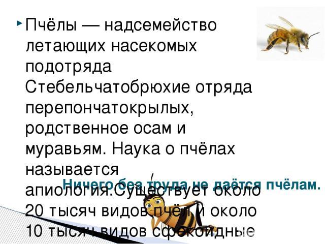 Ничего без труда не даётся пчёлам. Пчёлы — надсемейство летающих насекомых подотряда Стебельчатобрюхие отряда перепончатокрылых, родственное осам и муравьям. Наука о пчёлах называется апиология.Существует около 20 тысяч видов пчёл и около 10 тысяч в…