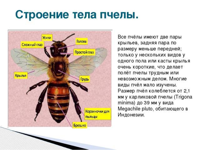 Строение тела пчелы. Все пчёлы имеют две пары крыльев, задняя пара по размеру меньше передней; только у нескольких видов у одного пола или касты крылья очень короткие, что делает полёт пчелы трудным или невозможным делом. Многие виды пчёл мало изуче…