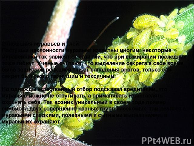 Отношения муравьев и тлей Пастушьи наклонности муравьев известны многим: некоторые муравейники так зависят от стаи тли, что при вымирании последних тоже гибнут. Ученые считают, что выделение секрета в свое время было защитной реакцией тли от нападен…