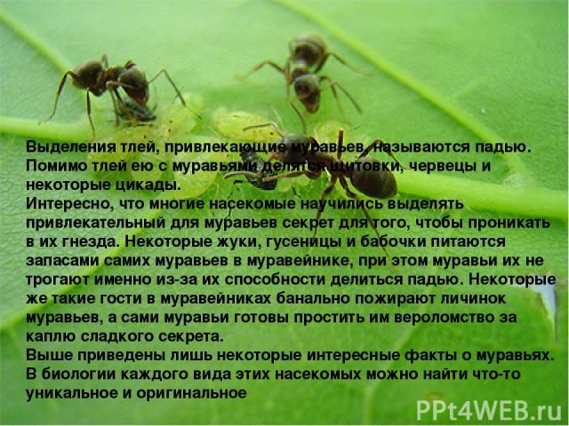 . Выделения тлей, привлекающие муравьев, называются падью. Помимо тлей ею с муравьями делятся щитовки, червецы и некоторые цикады. Интересно, что многие насекомые научились выделять привлекательный для муравьев секрет для того, чтобы проникать в их …